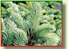 PTAK nursery a fur-tree prickly blue silvery Picea Pungens Glauca
